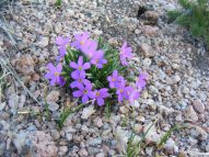 Fuchsia alpine flower, unidentified