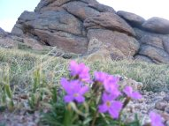 Granite outcropping and fuchsia flower