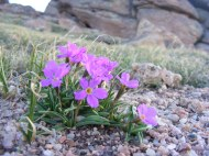 Fuchsia flower and granite outcropping
