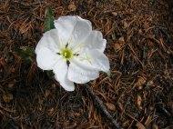 An evening primrose along the Ute Creek Trail