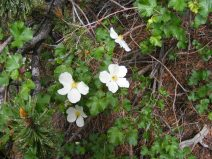 Rosaceae along the Ute Creek Trail