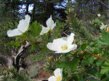 White rose with bristlecone pine