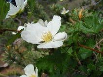 White rose being pollinated