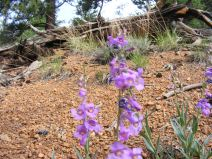 Penstemon growing in the granitic soil, Lost Creek Wilderness, Pike National Forest