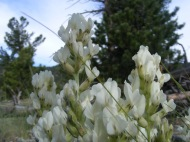 White Fabaceae with a background of ponderosa pine