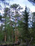 Ponderosa pine growing along Ute Creek, Lost Creek Wilderness