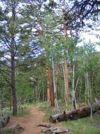 Ponderosa aglow on Ute Creek