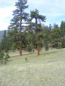 Ponderosa Park near Tarryall Creek, Pike National Forest