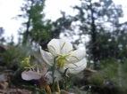 Evening primrose framed against the ponderosa pine forest, Ute Creek Trail along Tarryall Creek