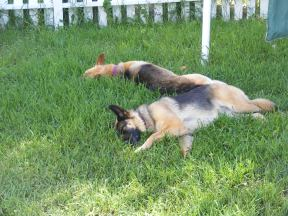 Leah and Draco sound asleep in the backyard, a pose of canine respite