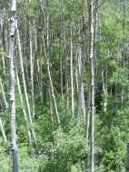 Thick aspen forest on Wild Cherry Creek