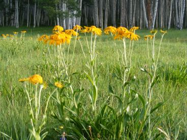 An Asteraceae, perhaps sneezeweed just off the Carbon Trail