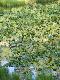 The pond lilies in bloom