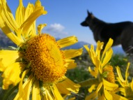Alpine sunflowers and a silhouetted Leah