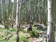 Aspen forest amid debris flow on the southern flank of Mount Axtell