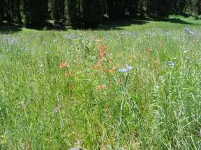 Flax and red trumpets on Ohio Creek along the Carbon Trail