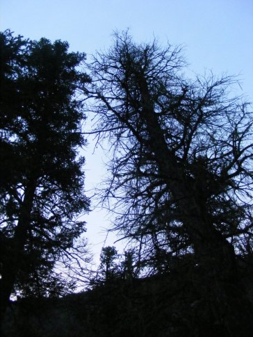 Live and dead conifer silhouetted against the morning sky