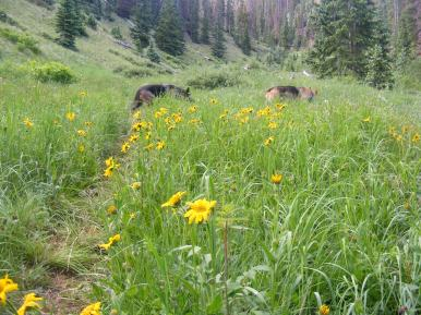 Cheerful sunflowers on the East Fork of Alpine Gulch