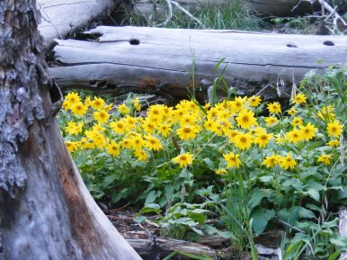 A species of Arnica, part of Asteraceae on East Fork of Alpine Gulch