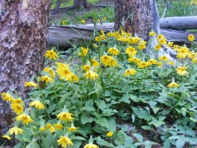 Possibly Arnica cordifolia growing among the sub-alpine conifers