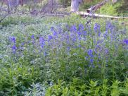 A patch of Delphinium spp., Ranunculaceae, in the East Fork of Alpine Gulch