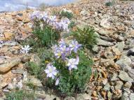 Aquilegia spp. on the shoulder of Point 12,601