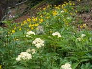 Wildflowers growing in the forest at the head of Alpine Gulch; the white flowers may be an elderberry, Sambuca spp., Caprifoliaceae