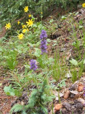 Arnica and Phacelia, together at last