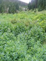 Mertensia spp., Boraginaceae, here in the East Fork of Alpine Gulch, very typical of this elevation of wetness