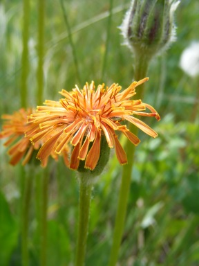 Probably a member of Asteraceae