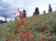 A field of Ipomopsis aggregata, Polemoniaceae, above Alpine Gulch