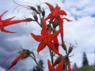 Scarlet gilia against the cloudy July sky above Alpine Gulch