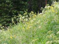 Profusion of wildflowers near Green Lake on the Gunnison National Forest