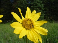 Insect helps pollinate this Asteraceae, or sunflower