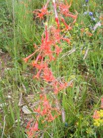 Scarlet gilia near Green Lake