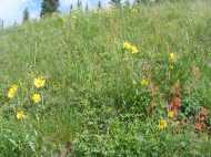 Sunflowers and gilia near Green Lake