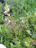 Possibly Pedicularis racemosa near Green Lake