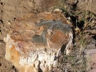 Petrified wood, a cross section of an old log