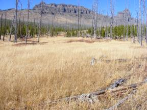 Regenerating lodgepole pine forest beneath the southern flank of Amphitheater Mountain on Cache Creek