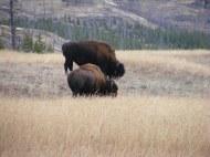 Buffalo grazing on Cache Creek