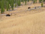 Bison on Cache Creek