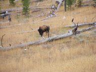 Single buffalo on Cache Creek