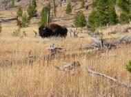 Buffalo grazing on Cache Creek, alone