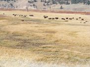 Buffalo near the confluence between the Lamar River and Soda Butte Creek
