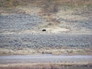 Purported grizzly bear near Blacktail Deer Ponds