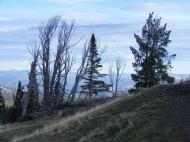 On Dunraven Pass, skeletal whitebark pine, a victim to bark beetles
