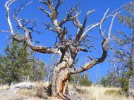 Skeletal bole, victim of bark beetles?