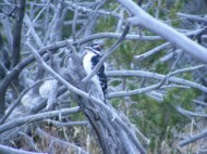 Cool woodpecker, perhaps a downy, at camp