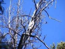 A goshawk on the Lakeside Trail
