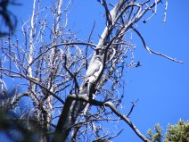 Goshawk in the Wind River Range of Wyoming
